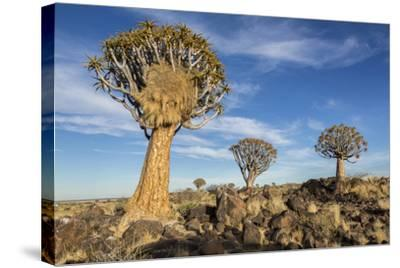 Africa, Namibia. Quiver Trees and Boulders-Jaynes Gallery-Stretched Canvas Print