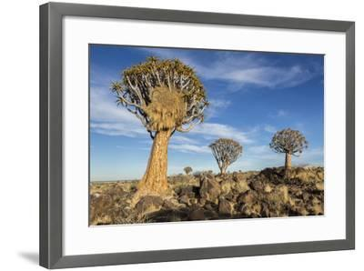 Africa, Namibia. Quiver Trees and Boulders-Jaynes Gallery-Framed Photographic Print