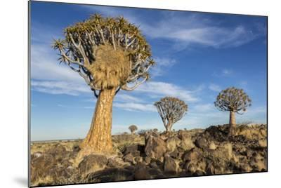 Africa, Namibia. Quiver Trees and Boulders-Jaynes Gallery-Mounted Photographic Print