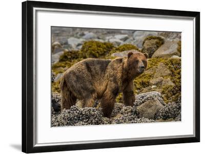 Alaska, Glacier Bay National Park. Brown Bear on Beach-Jaynes Gallery-Framed Photographic Print