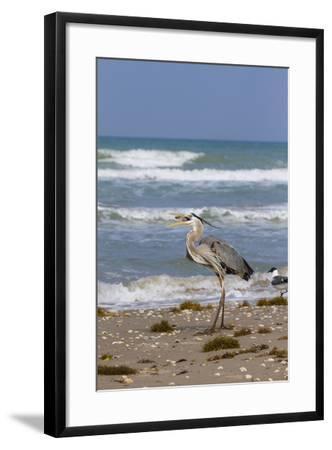 Cameron County, Texas. Great Blue Heron, Ardea Herodias, Feeding-Larry Ditto-Framed Photographic Print