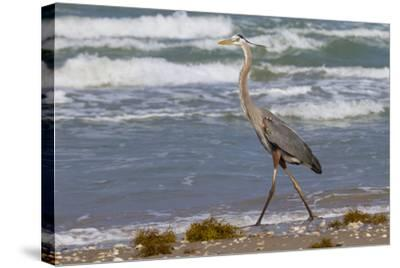 Cameron County, Texas. Great Blue Heron, Ardea Herodias, Feeding-Larry Ditto-Stretched Canvas Print