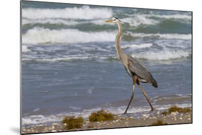 Cameron County, Texas. Great Blue Heron, Ardea Herodias, Feeding-Larry Ditto-Mounted Photographic Print