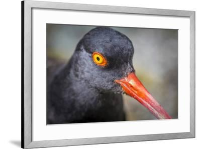 Alaska, Glacier Bay National Park. Close Up of Black Oystercatcher Bird-Jaynes Gallery-Framed Photographic Print