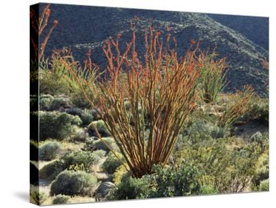 California, Anza Borrego Desert Sp, Blooming Ocotillos in the Desert-Christopher Talbot Frank-Stretched Canvas Print