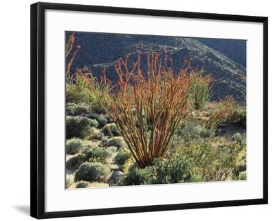 California, Anza Borrego Desert Sp, Blooming Ocotillos in the Desert-Christopher Talbot Frank-Framed Photographic Print