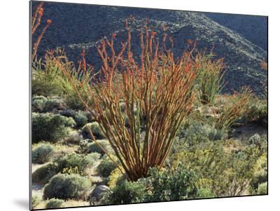 California, Anza Borrego Desert Sp, Blooming Ocotillos in the Desert-Christopher Talbot Frank-Mounted Photographic Print