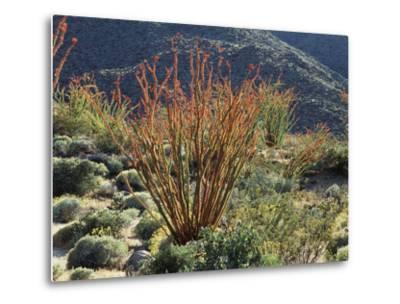 California, Anza Borrego Desert Sp, Blooming Ocotillos in the Desert-Christopher Talbot Frank-Metal Print