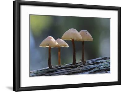 Canada, B.C, Vancouver Island. Mycena Mushrooms Growing on a Nurselog-Kevin Oke-Framed Photographic Print