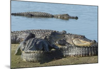 American Alligators Sunning, Myakka River, Myakka River Sp, Florida-Maresa Pryor-Mounted Photographic Print