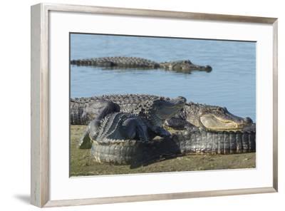 American Alligators Sunning, Myakka River, Myakka River Sp, Florida-Maresa Pryor-Framed Photographic Print