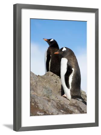Antarctica. Neko Harbor. Gentoo Penguin, Pygoscelis Papua, Colony-Inger Hogstrom-Framed Photographic Print