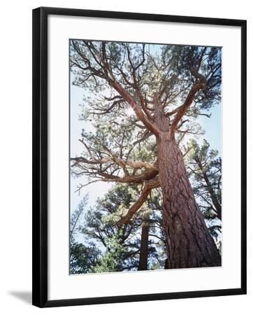 California, Sierra Nevada, Inyo Nf, Old Growth Ponderosa Pine Tree-Christopher Talbot Frank-Framed Photographic Print