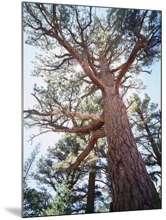 California, Sierra Nevada, Inyo Nf, Old Growth Ponderosa Pine Tree-Christopher Talbot Frank-Mounted Photographic Print