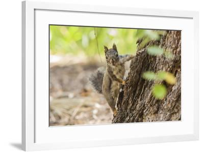 Eastern Sierra Nevada. an Inquisitive Douglas Squirrel or Chickaree-Michael Qualls-Framed Photographic Print
