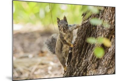 Eastern Sierra Nevada. an Inquisitive Douglas Squirrel or Chickaree-Michael Qualls-Mounted Photographic Print