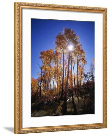 California, Sierra Nevada, Inyo Nf, Suns Rays Through Autumn Aspens-Christopher Talbot Frank-Framed Photographic Print