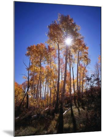 California, Sierra Nevada, Inyo Nf, Suns Rays Through Autumn Aspens-Christopher Talbot Frank-Mounted Photographic Print