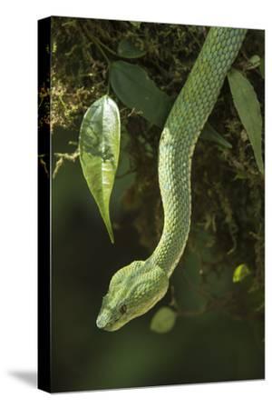 Captive Eyelash Viper, Bothriechis Schlegelii, Coastal Ecuador-Pete Oxford-Stretched Canvas Print