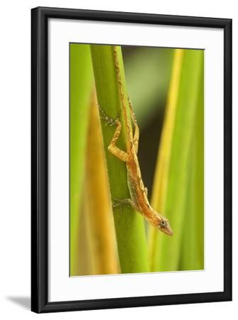 Central America, Costa Rica. Pacific Anole Lizard on Plant-Jaynes Gallery-Framed Photographic Print