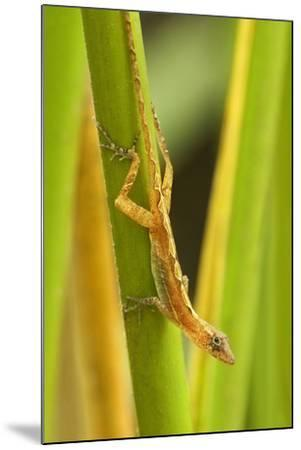 Central America, Costa Rica. Pacific Anole Lizard on Plant-Jaynes Gallery-Mounted Photographic Print