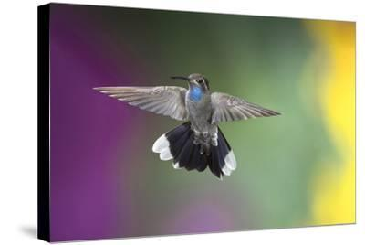 Arizona, Madera Canyon. Blue Throated Hummingbird with Spread Wings-Jaynes Gallery-Stretched Canvas Print