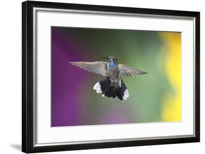 Arizona, Madera Canyon. Blue Throated Hummingbird with Spread Wings-Jaynes Gallery-Framed Photographic Print