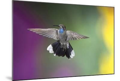 Arizona, Madera Canyon. Blue Throated Hummingbird with Spread Wings-Jaynes Gallery-Mounted Photographic Print