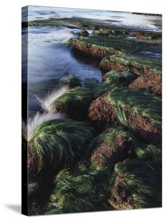 California, San Diego, Waves Crash on Eel Grass Covered Rocks-Christopher Talbot Frank-Stretched Canvas Print