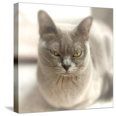 Close Up of a Blue American Burmese Cat-Rona Schwarz-Stretched Canvas Print