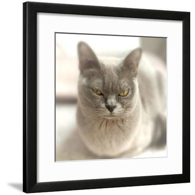 Close Up of a Blue American Burmese Cat-Rona Schwarz-Framed Photographic Print