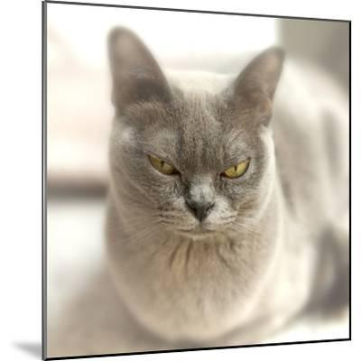 Close Up of a Blue American Burmese Cat-Rona Schwarz-Mounted Photographic Print