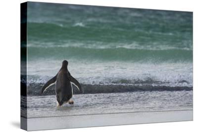 Falkland Islands. Saunders Island. Gentoo Penguins Diving-Inger Hogstrom-Stretched Canvas Print