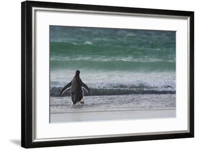 Falkland Islands. Saunders Island. Gentoo Penguins Diving-Inger Hogstrom-Framed Photographic Print