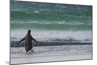 Falkland Islands. Saunders Island. Gentoo Penguins Diving-Inger Hogstrom-Mounted Photographic Print