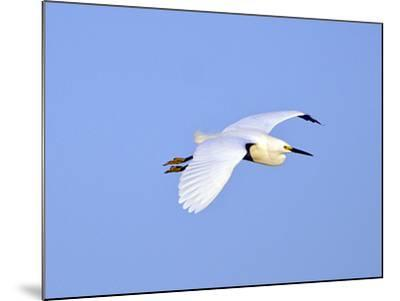 Florida, Venice, Snowy Egret Flying-Bernard Friel-Mounted Photographic Print