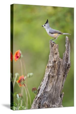 Starr County, Texas. Black Crested Titmouse Perched-Larry Ditto-Stretched Canvas Print
