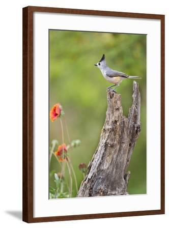 Starr County, Texas. Black Crested Titmouse Perched-Larry Ditto-Framed Photographic Print