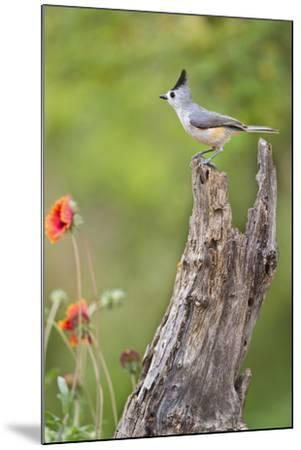 Starr County, Texas. Black Crested Titmouse Perched-Larry Ditto-Mounted Photographic Print
