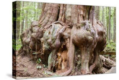 Canada, B.C, Port Renfrew, Avatar Grove, Ancient Red Cedar Tree-Jamie And Judy Wild-Stretched Canvas Print