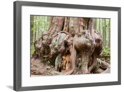 Canada, B.C, Port Renfrew, Avatar Grove, Ancient Red Cedar Tree-Jamie And Judy Wild-Framed Photographic Print