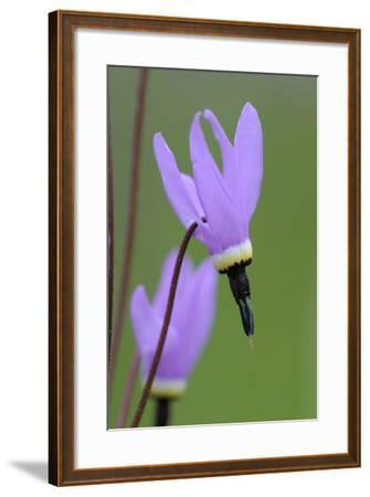Canada, B.C, Vancouver Island. Shooting Star, Cowichan Garry Preserve-Kevin Oke-Framed Photographic Print