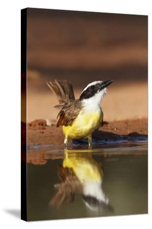 Hidalgo County, Texas. Great Kiskadee Drinking at Ranch Pond-Larry Ditto-Stretched Canvas Print