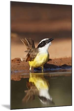 Hidalgo County, Texas. Great Kiskadee Drinking at Ranch Pond-Larry Ditto-Mounted Photographic Print
