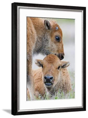 Wyoming, Yellowstone National Park, a Bison Calf Nuzzles Another to Play-Elizabeth Boehm-Framed Photographic Print