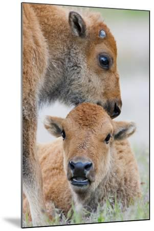 Wyoming, Yellowstone National Park, a Bison Calf Nuzzles Another to Play-Elizabeth Boehm-Mounted Photographic Print