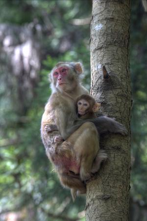 Mother Rhesus Macaque and Baby Wulingyuan District, China-Darrell Gulin-Framed Photographic Print
