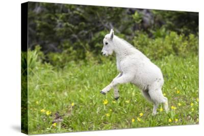 Mountain Goat Kid Kicks Up His Heels in Glacier National Park, Montana, USA-Chuck Haney-Stretched Canvas Print
