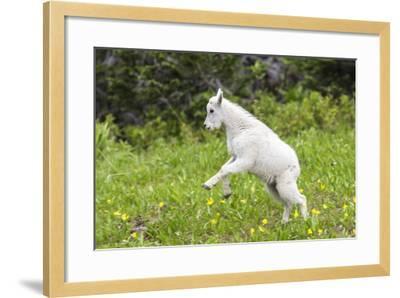 Mountain Goat Kid Kicks Up His Heels in Glacier National Park, Montana, USA-Chuck Haney-Framed Photographic Print