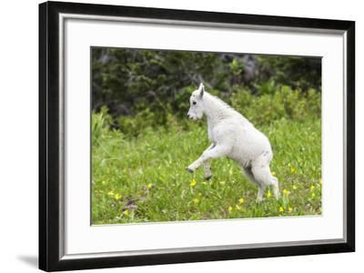 Mountain Goat Kid Kicks Up His Heels in Glacier National Park, Montana, USA-Chuck Haney-Framed Photographic Print